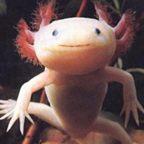 Axolotl mexický albín