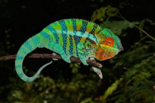 Chameleon pardali