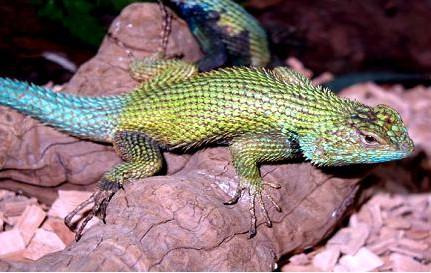 Leguánek smaragdový